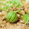 スイカ栽培の肥料について(野菜づくりの施肥量と元肥・追肥の与え方)