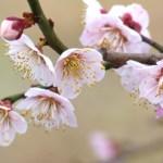 3月1日~3月31日|誕生花と花言葉一覧