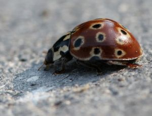 Ladybugs come in all colors