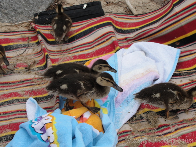 ducklings, mallard ducks