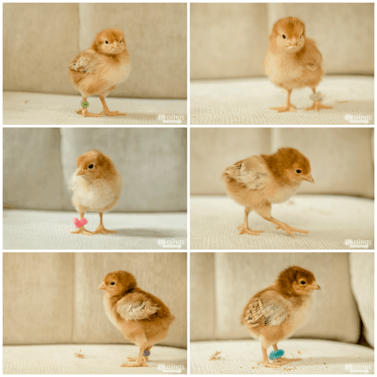 How to Tell Baby Chicks Apart - Rhode Island Red chicks