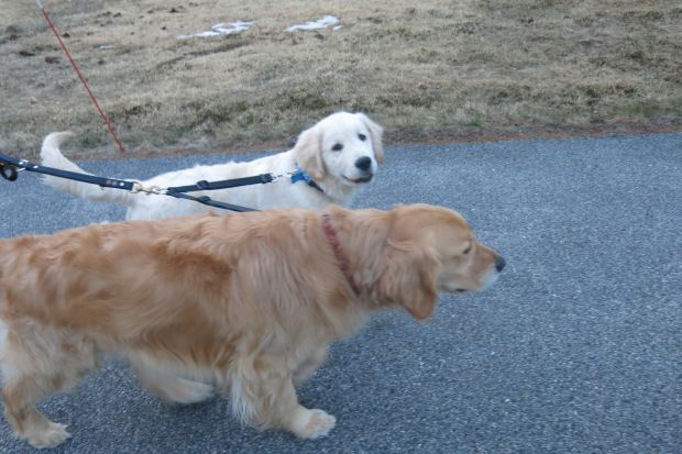 Chick Billy & Asa on their Tandem Leash Extension