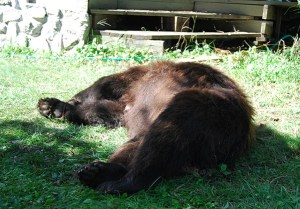 dead female bear