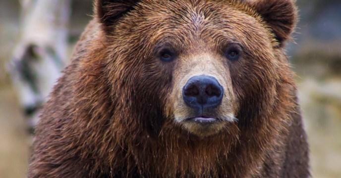 tired-looking-brown-bear