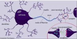 myelin axon nerve cell