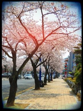 Cherry Trees - Korea