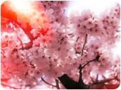 Pink Cherry Blossoms-Korea