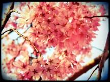 Pretty Pink Cherry Blossoms