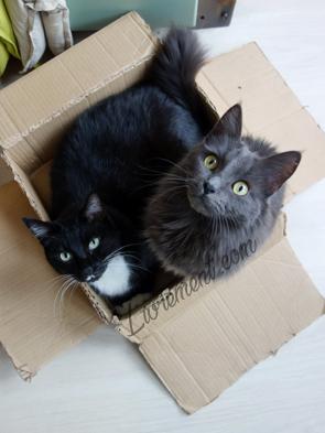 Les chats Raspoutine et Moriarty dans un carton