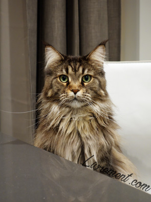 Leeloo maine coon