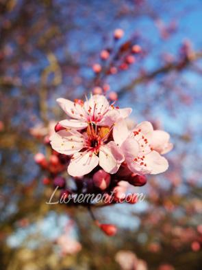 Fleurs d'un prunier sauvage