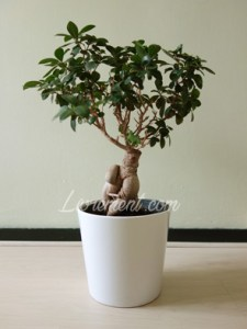 Ficus giseng et nouvelles feuilles