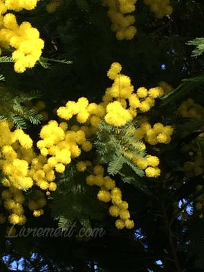 Pompons de mimosa