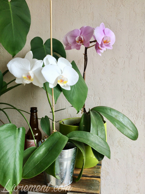 Orchidées en fleurs