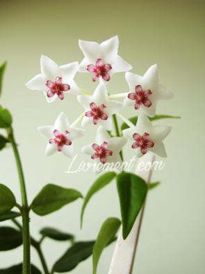 Floraison d'une hoya bella de Livrement.com