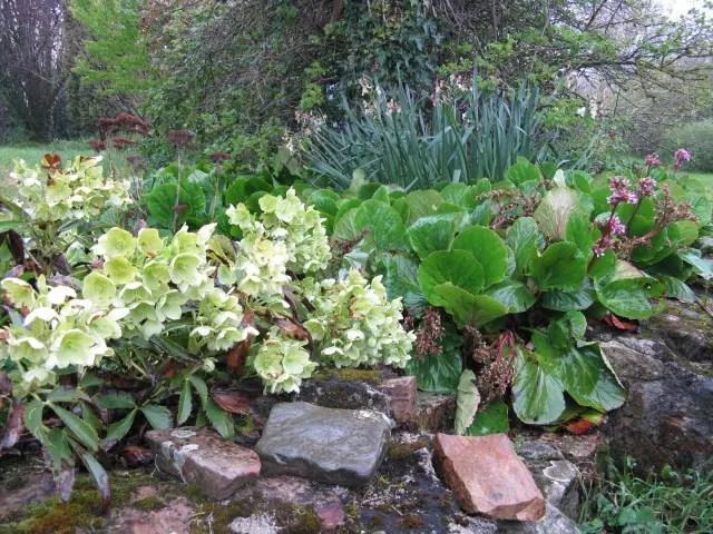 jardins fleuris héllebores et bergenias