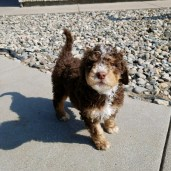 Molly the Bernedoodle