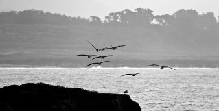Pelicans cruising for a meal near San Simeon.