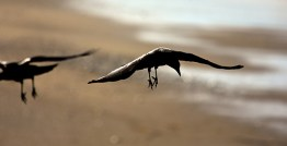 Two crows pretending they're B2 bombers - but, with talons.