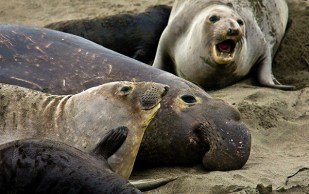 Usually, I spend a lot of time with the elephant seals but this time, only a few minutes.