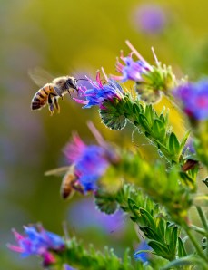 Arlington bees