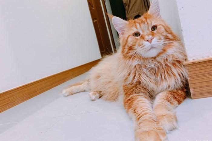 【貓咪醫療】貓咪也要割雙眼皮? 緬因貓 Maine Coon 眼瞼內翻睫毛倒插 慈恩動物醫院