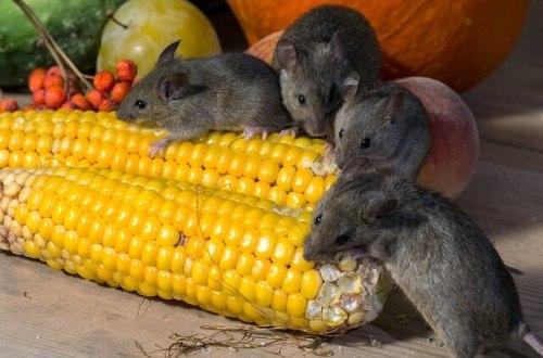 alat pengusir tikus