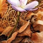 Forest Floor April (hepatica)