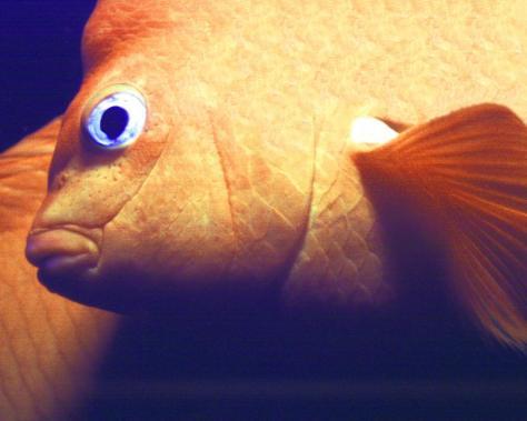 Garabaldi Fish