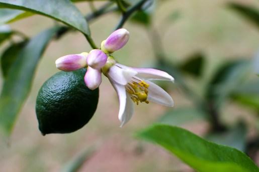 blossom of Meyer lemon
