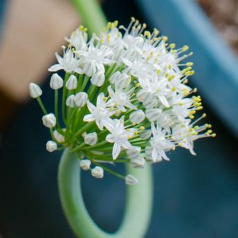 Georgia Sweet Onion Flower
