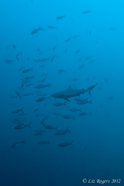 Shark in a cloud of fish