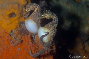 Pot-bellied seahorse pair at Blairgowrie Marina