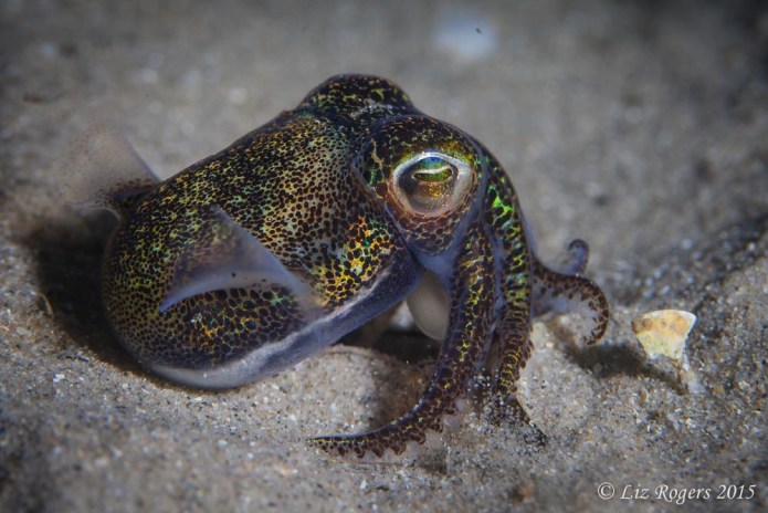 Bobtail squid at Rye Pier