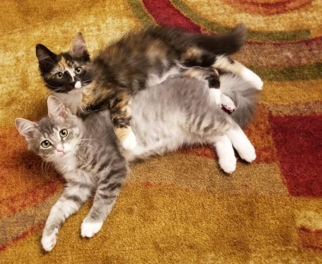 Medium haired kittens snuggling.