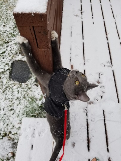Gray cat in harness in the snow