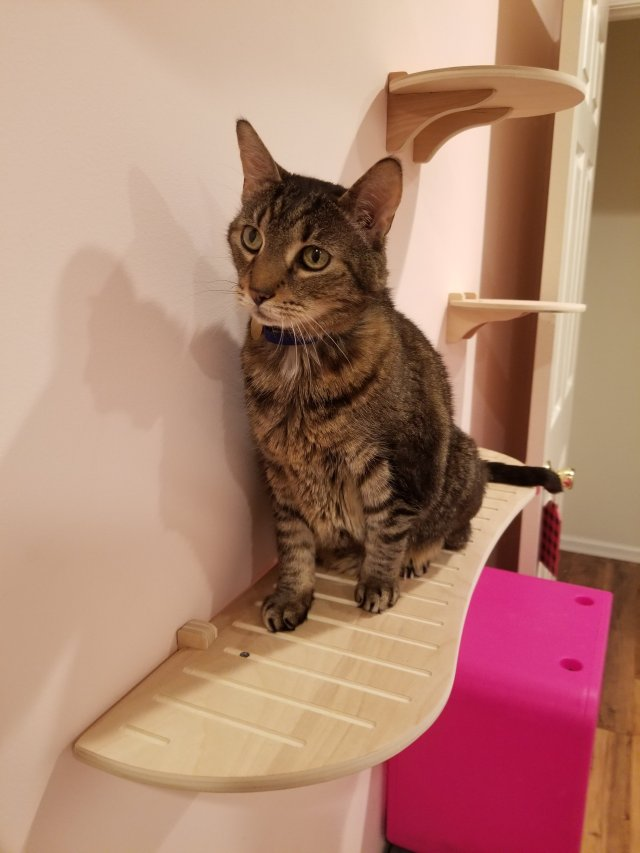 Tabby cat sits on ContempoCat cat shelf