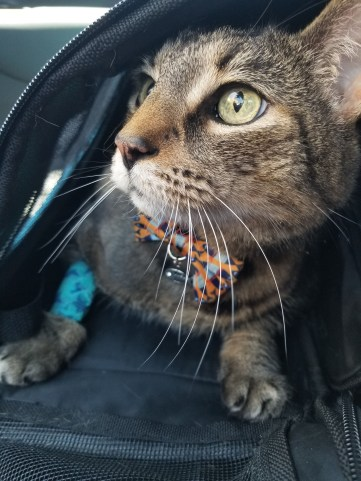 tabby cat with bandage