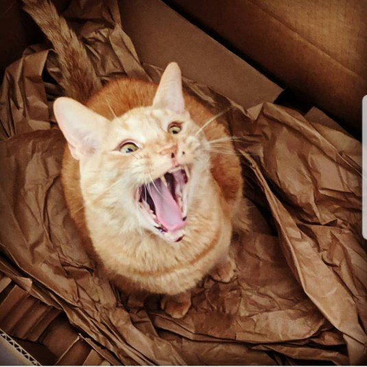 Ginger cat yawns