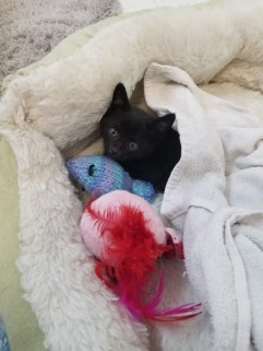 black kitten in cat bed with toys