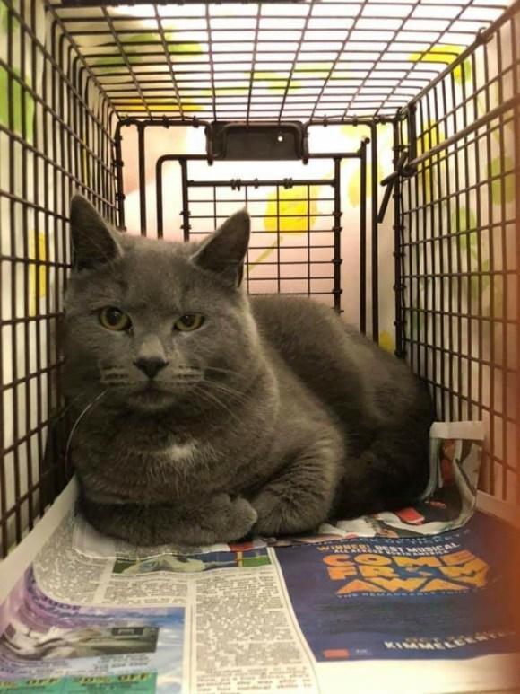 gray cat in trap for tnr
