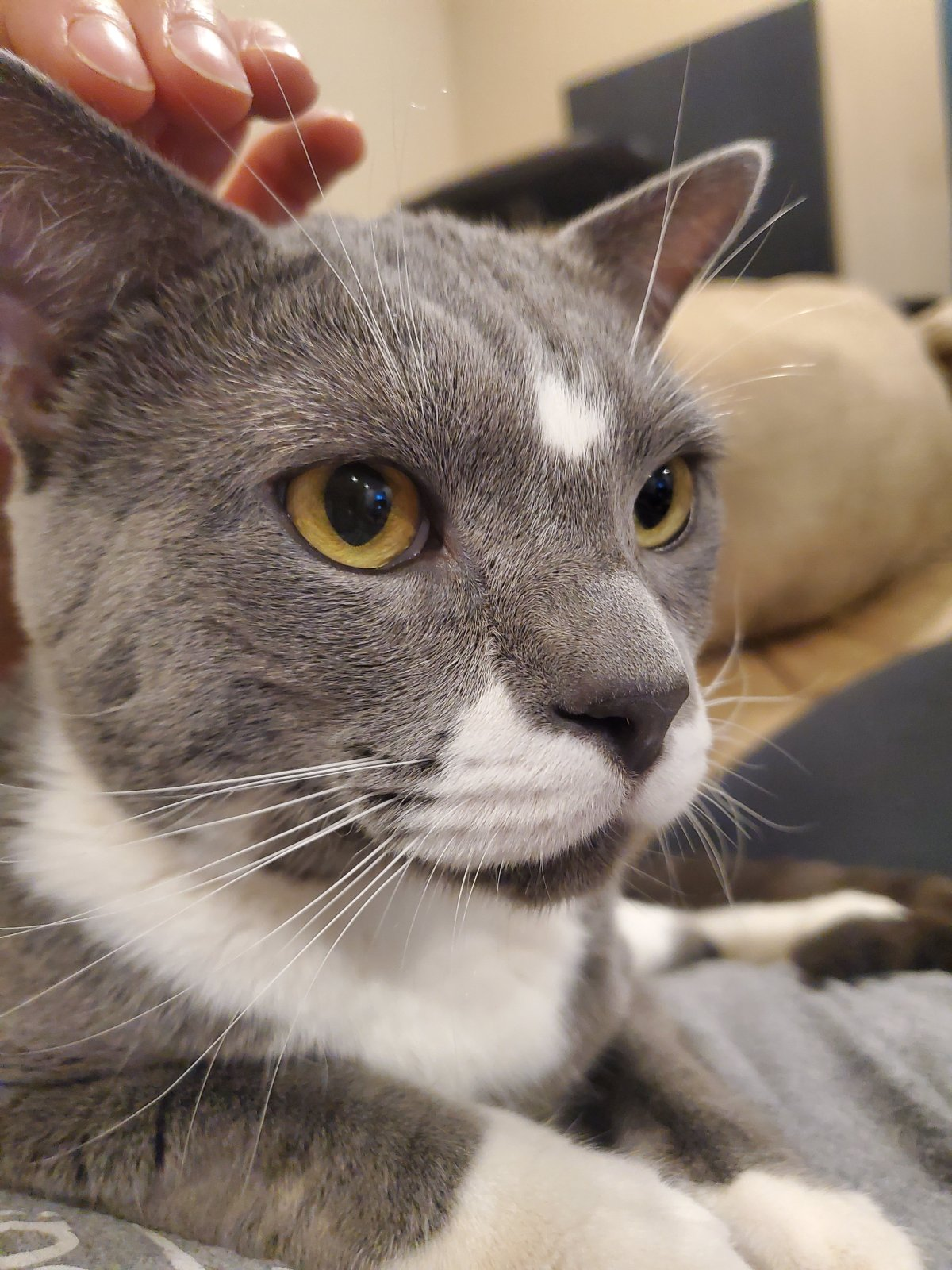 close-up of grey and white cat