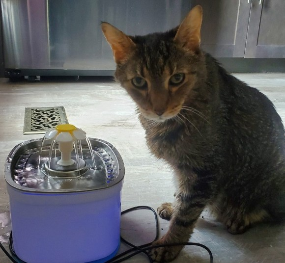 Tabby cat stands next to water fountain