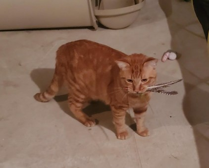 Orange cat with feather toy in mouth