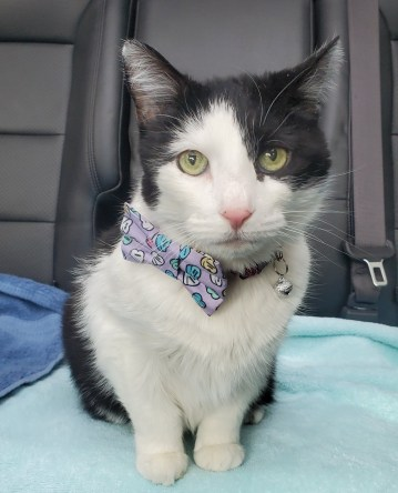 black and white cat in car