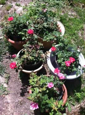 Tiffanie's Roses in Full Bloom