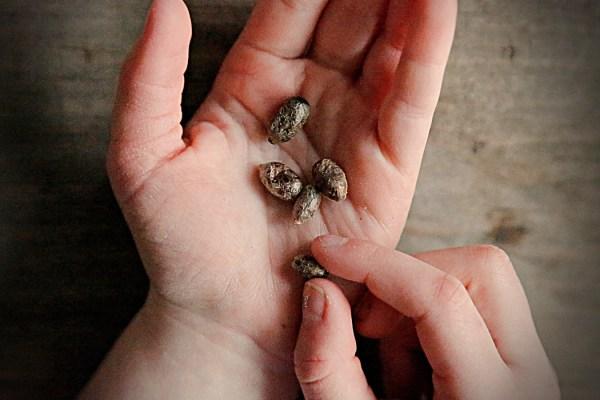 Lizzie Homemaker mason bee cocoons