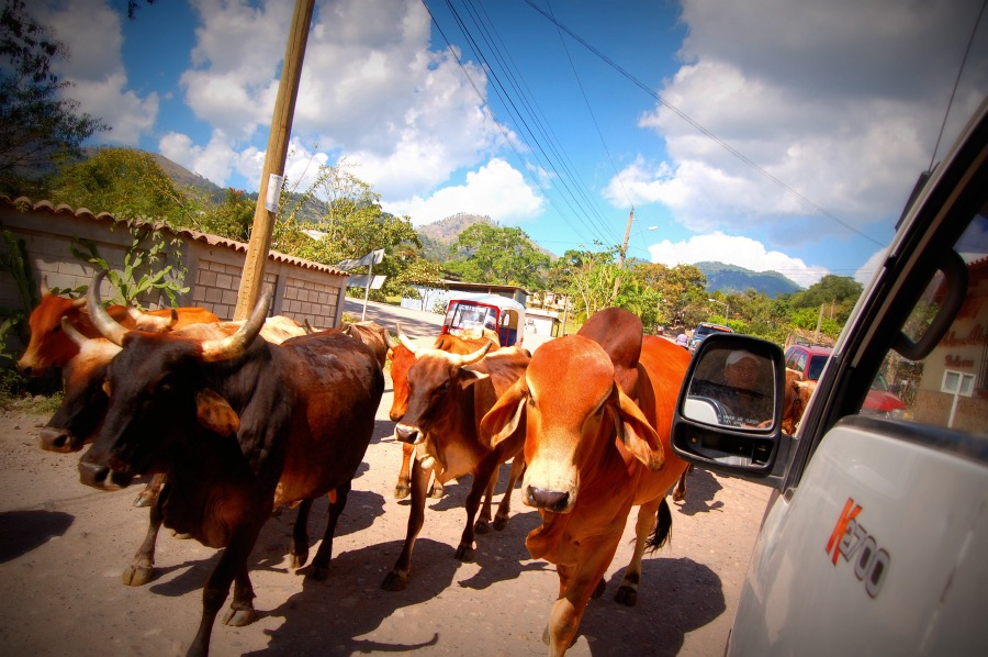 sharing the road to copan with livestock