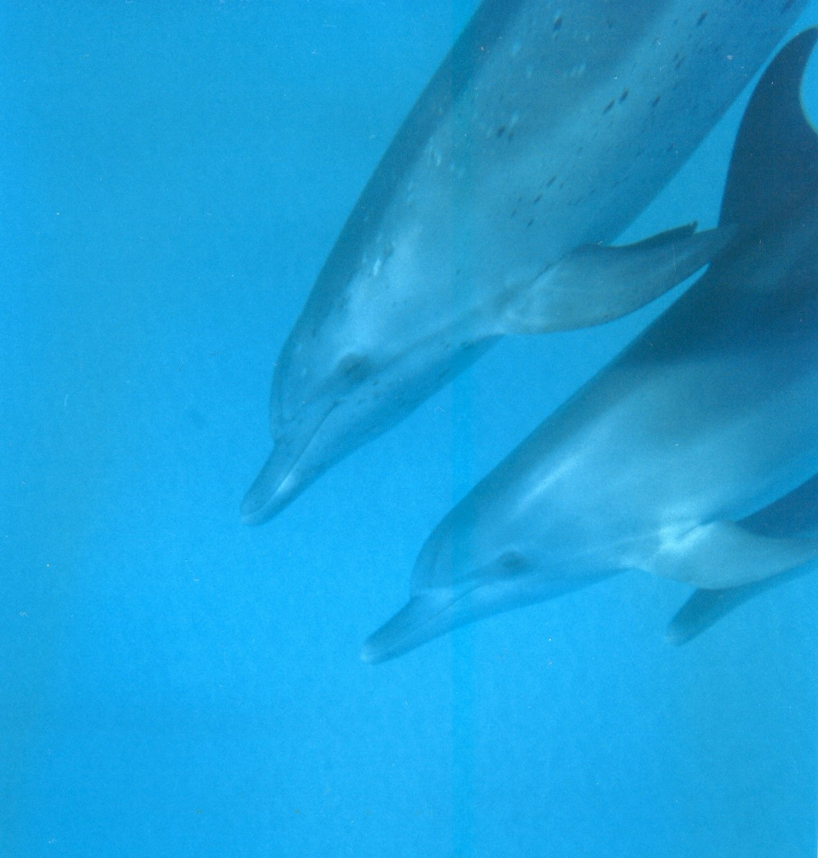 Swim with wild spotted dolphins in The Bahamas
