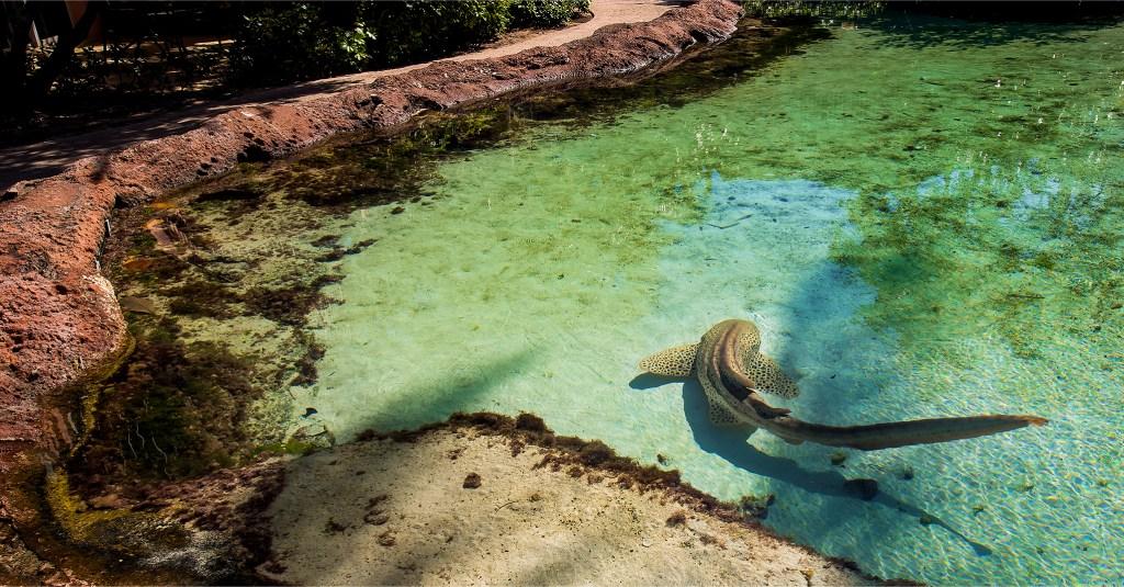 Leopard Shark swimming around a lagoon pool at Atlantis. Photo by Lizzy Davis.
